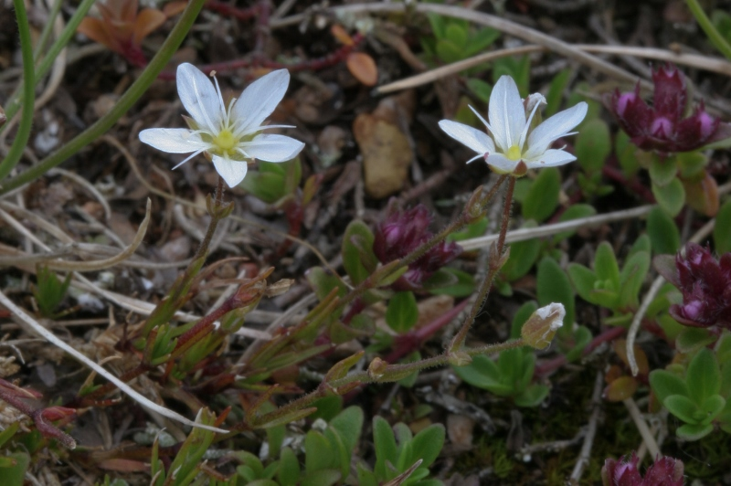 Minuartia verna at Priddy Mineries photo:HXP